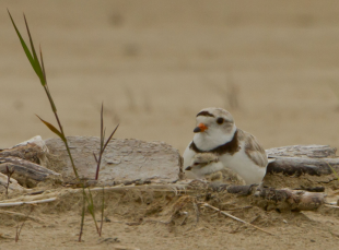 Meet the Plovers